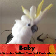 baby-sulfer-crested-cockatoo-thumb.jpg
