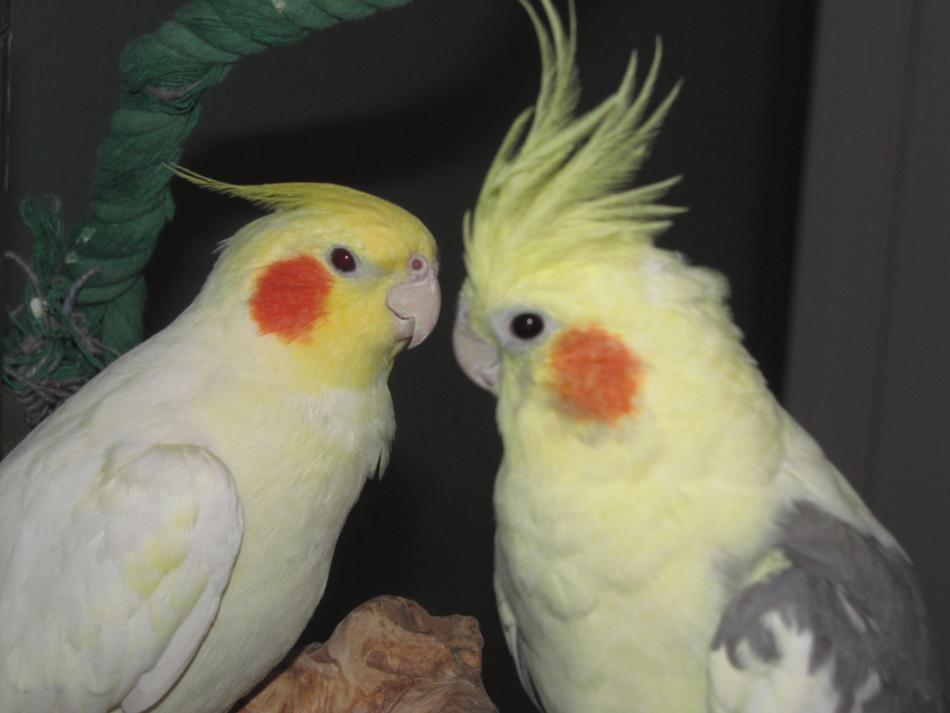 Meet sweetie phoenix for Cocktail yellow bird